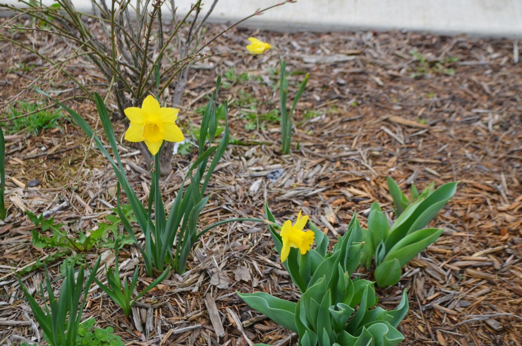 Daffodils bloom near the Brookline Boulevard cannon war memorial. Photo by Rebekah Devorak.