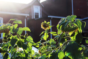 Afternoon light spills over a neighboring house, illuminating Plant to Plate's sunflower patch.